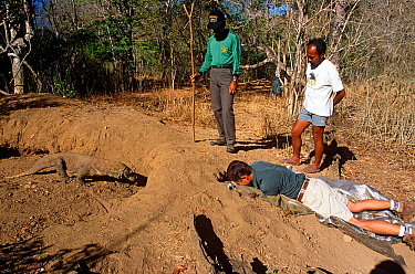 Komodo dragon (Varanus komodensis) entering hole in nest, created in abandoned megapode mound. Cameraman Michael Pitts filming through access hole in nest. Komodo Island, Indonesia. 1995