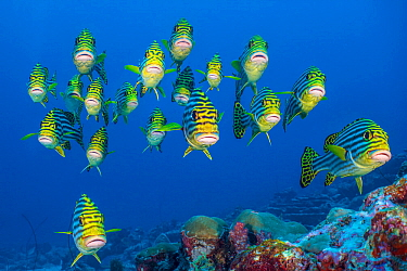 Oriental sweetlips (Plectorhinchus vittatus) schooling above coral reef. Lankan Island, North Male Atoll, Maldives. Indian Ocean.