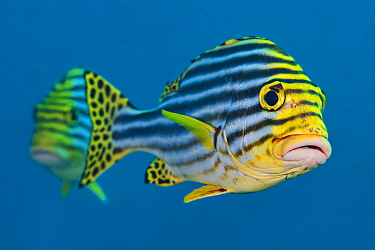 Oriental sweetlips (Plectorhinchus vittatus) pair. South Ari Atoll, Madlives. Indian Ocean.