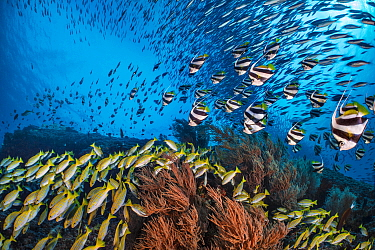 Bengal snapper (Lutjanus bengalensis), Bannerfish (Heniochus diphreutes) and Fusiliers (Caesio sp.) diving towards coral reef to avoid predators. North Ari Atoll, Maldives. Indian Ocean.