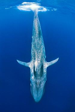 Blue whale (Balaenoptera musculus) diving beneath the surface.  Indian Ocean, Sri Lanka.