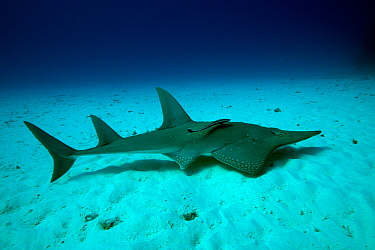 Shovelnose ray  (Glaucostegus typus) Lady Elliot Island, Great Barrier Reef, Australia.