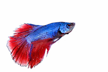 Betta fish (Betta splendens) captive, aquarium fish.