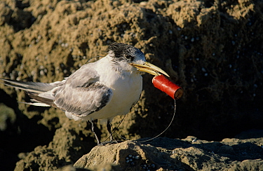 Crested tern (Sterna bergii) juvenile entangled in a fishing line, likely cut off by a fisherman after the bird swallowed the hooked bait. Australia.