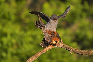 Red-footed falcon (Falco vespertinus) pair mating, Tiszaalpar, Kiskunsag National Park, Hungary May.