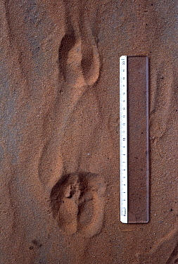 Barbary sheep (Ammotragus lervia) footprints with ruler for scale. Sahara Desert, Nige.