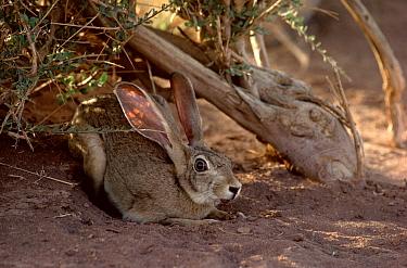 Cape hare (Lepus capensis) resting in shadow of a Maerua crassifolia, Tenere, Sahara, Niger.