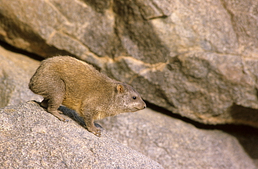 Rock hyrax (Procavia capensis)  Sahara, Niger.