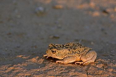 Mauretanian toad (Bufo mauritanicus) adult at sunset, Sahara, Tunisia, South Tunisia.