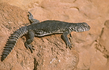 Spiny tailed agama (Uromastix acanthinurus) adult, Tunisia, Sahara.