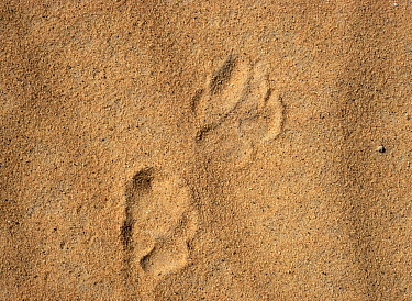 Striped hyena (Hyaena hyaena) footprints, showing typical larger rouder track of the front feet compared to back feet. Azaouak, Sahara Desert, Niger,.