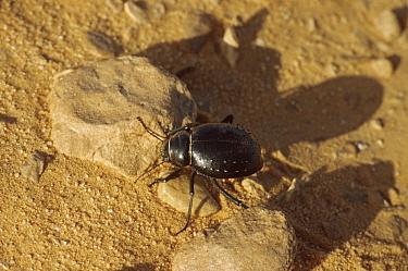 Typical saharan Darkling beetle (Tenebrionidae) Tenere Sahara, Niger.