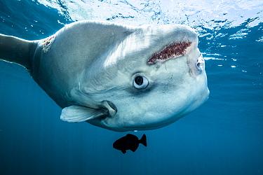Ocean sunfish (Mola mola) off Halifax, Nova Scotia, Canada. July.
