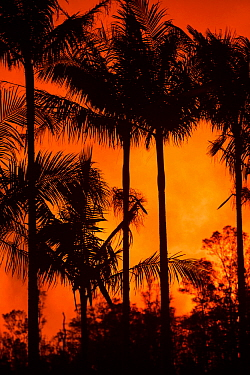 Palm trees in Leilani Community Park, silhouetted against the glow from fountaining lava at fissure 8, Kilauea Volcano, Leilani Estates subdivision, near Pahoa, Puna District, Hawaii. June 2018.