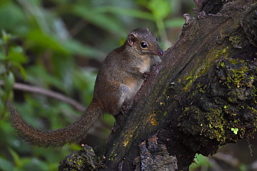 Northern tree shrew (Tupaia belangeri) perched on a tree trunk while feeding on insects in Baihualing, Gaoligongshan, Yunnan, China