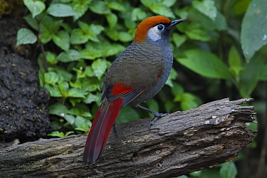 Red-tailed laughingthrush (Trochalopteron milnei) perched on a tree trunk,  Baihualing, Gaoligongshan, Yunnan, China