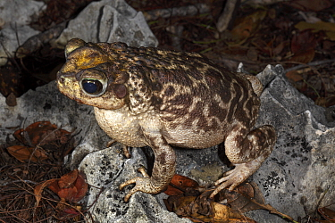 Zapata toad (Peltrophryne florentinoi) Cuba