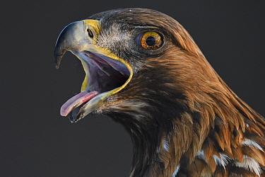 Golden eagle (Aquila chrysaetos) male head portrait, beak open calling, Kalvtrask, Vasterbotten, Sweden. December.