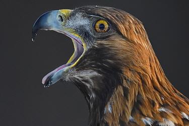 Golden eagle (Aquila chrysaetos) male head portrait beak open calling, Kalvtrask, Vasterbotten, Sweden. December.