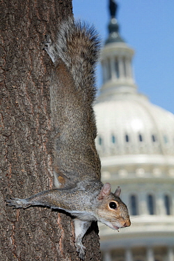 Eastern gray squirrel (Sciurus carolineses) on tree trunk with US Capitol building in  background, Washington DC, USA. June 2017.