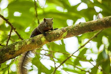 Orange bellied Himalayan squirrel (Dremomys lokriah) Pakke Tiger Reserve, Arunachal Pradesh, India.