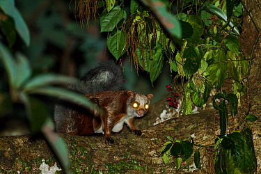 Red giant flying squirrel (Petaurista petaurista) at night with eye shine effect, Arunachal Pradesh, India.