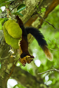 Indian giant squirrel (Ratufa indica) feeding on Jackfruit, Kaziranga National Park, Assam, India.
