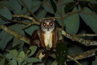 Common giant flying squirrel (Petaurista petaurista) at night, Namdapha National Park, Arunchal Pradesh, India.