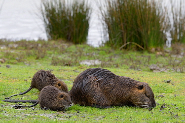 Coypu (Myocastor coypus) female and young feeding on grass. Le Teich, Gironde, Nouvelle-Aquitaine, France. April.