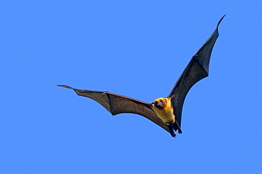 Indian flying-fox (Pteropus giganteus) in flight against blue sky, Gujurat, India.