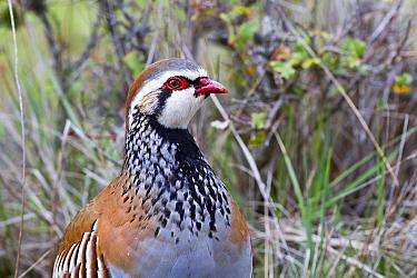 Red partridge (Alectoris rufa) Castilla La Mancha, Spain.