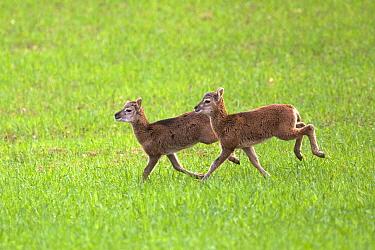 Mouflon (Ovis ammon musimon), lambs running in a meadow, Haute Saone, France.