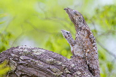 Great potoo (Nyctibius grandis) female with young resting on a branch, Pantanal, Mato Grosso, Brazil.