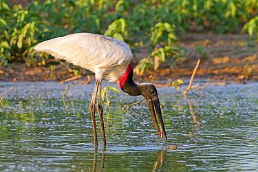 Jabiru stork (Jabiru mycteria), fishing  Pantanal, Mato Grosso, Brazil.