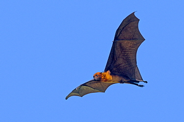 Indian flying-fox (Pteropus giganteus) Gujarat, India.