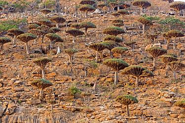 Dragon's blood tree (Dracaena cinnabari) Homhil plateau, Socotra Island, UNESCO World Heritage Site, Yemen.