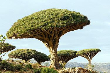 Dragon's blood tree (Dracaena cinnabari) Socotra Island, UNESCO World Heritage Site, Yemen.