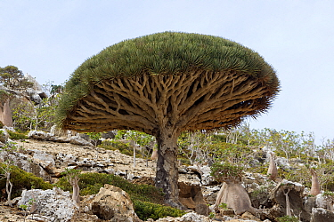 Dragon's blood tree (Dracaena cinnabari) Socotra Island UNESCO World Heritage Site, Yemen.