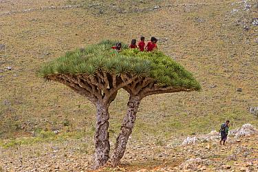 Children who have climbed to the top of a  Dragon tree (Dracaena Cinnabari) Socotra Island UNESCO World Heritage Site, Yemen.