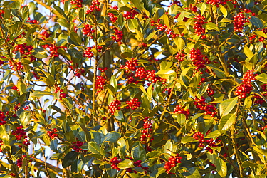 European holly ( Ilex aquifolium) , female tree with red fruits, Haut Rhin, France.