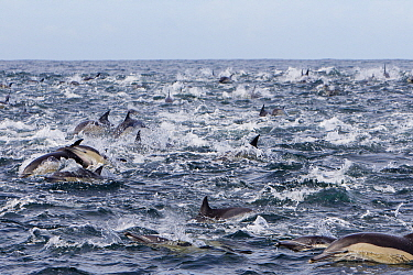 Long-beaked common dolphin (Delphinus capensis) pod during the Sardine run, Seal Island, South Africa.