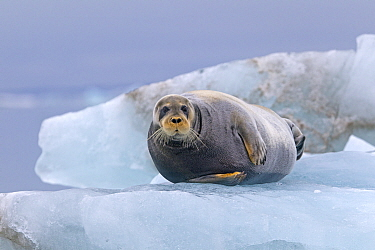 Bearded seal (Erignathus barbatus) hauled out on the ice, Svalbard, Norway.