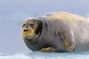 Bearded seal (Erignathus barbatus) hauled out on ice, Svalbard, Norway.