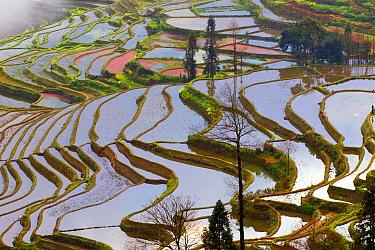 Rice terracesnear Duoyishu village, Yuanyang, Yunnan, China.