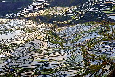 Rice terraces, at Laohuzui, Yunnan, China.