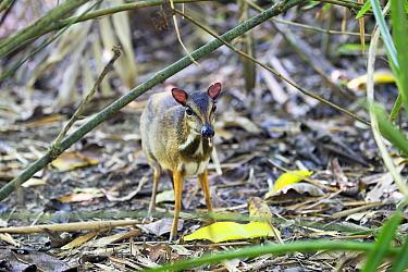Lesser mouse-deer (Tragulus kanchil) Sabah, Borneo.