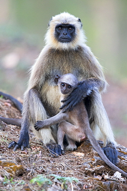 Hanuman langur (Semnopithecus entellus), female and baby, Nagarhole National Park, Karnataka, India.