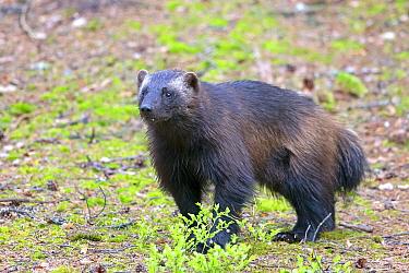 Wolverine (Gulo gulo) Finland.