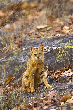 Jungle cat (Felis chaus) Bandhavgarh National Park, Madhya Pradesh, India.