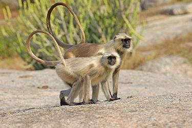 Northern plains gray langur or Hanuman Langur (Semnopithecus entellus) Rajasthan state, India.